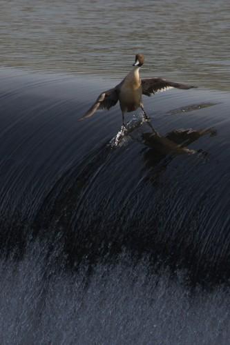 19. Самая крутая утка
