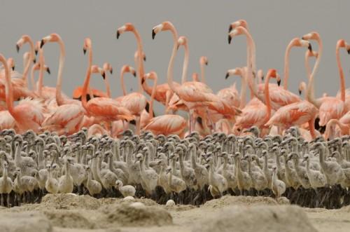 Caribbean_Flamingo_file_1