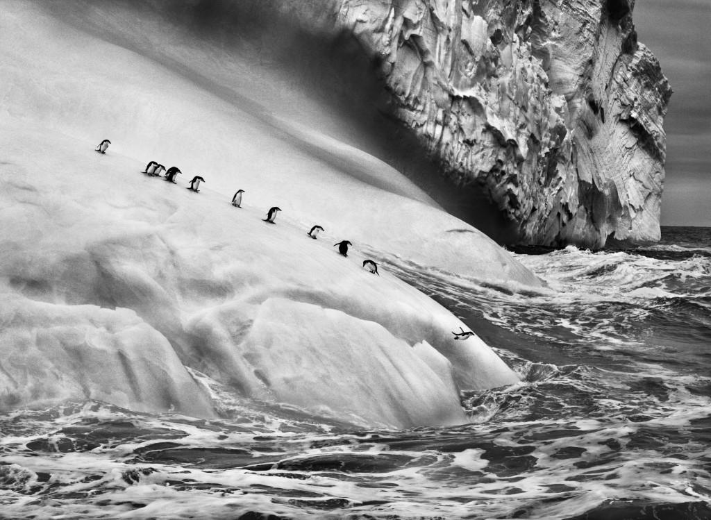 СЕБАСТИО САЛЬГАДО. Антарктические пингвины на айсберге между островами Завадовского и Высоким. Южные Сандвичевы острова. 2009. Amazonas Images