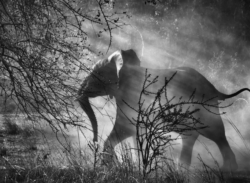 СЕБАСТИО САЛЬГАДО. В Замбии на слонов охотятся браконьеры, поэтому они прячутся от людей и автомобилей. Национальный парк Кафуэ, Замбия. 2010. Amazona